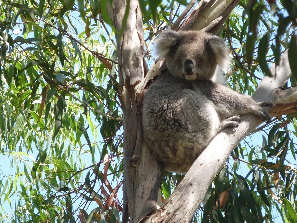 Koala Conservation Centre u2013 Phillip Island, Victoria, Australia : On the go kid in tow